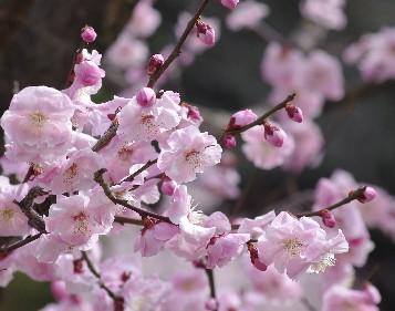 100302ピンクの梅