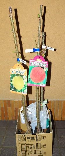 100323黄金桃と川中島白桃