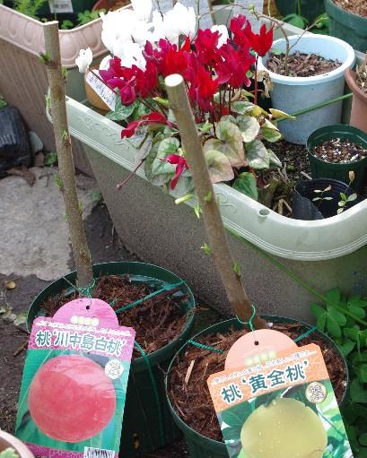 100327川中島白桃と黄金桃