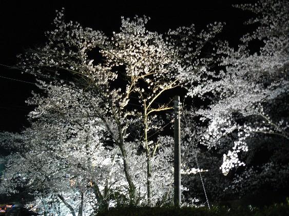 100403夜桜の樹