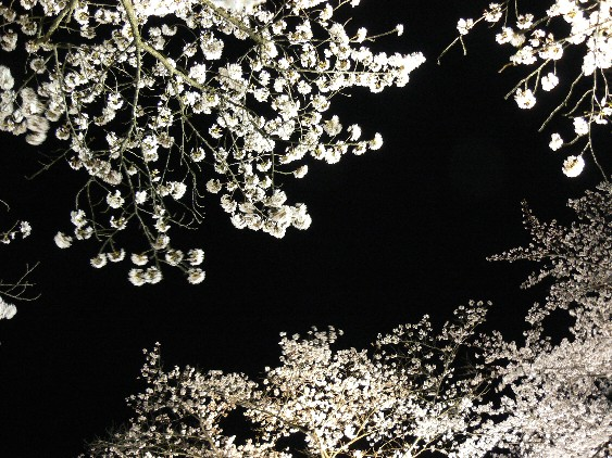 100403夜桜を見上げる