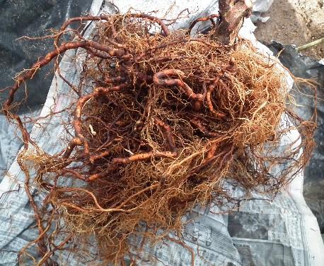 110219 ベビーキウイ雌苗の根
