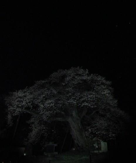 110424-権現桜