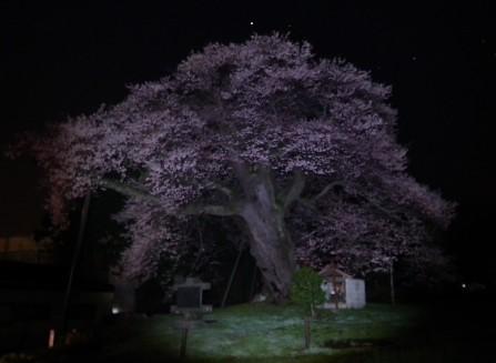 110424-権現桜2
