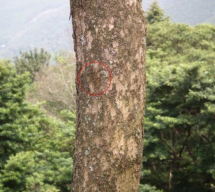 110724-木とセミ