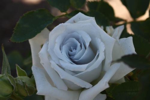 青い薔薇 2