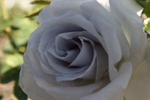 青い薔薇 1