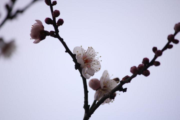 牡丹園 梅5
