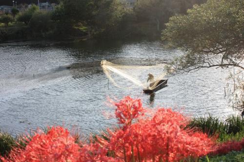 彼岸花と投網漁2