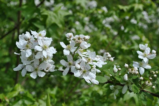 バラ科の雑草