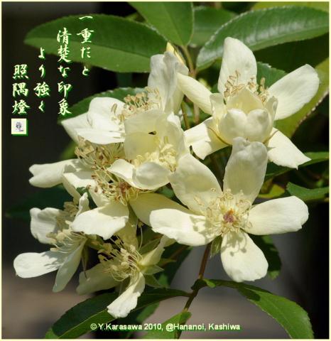 100527白木香薔薇一重