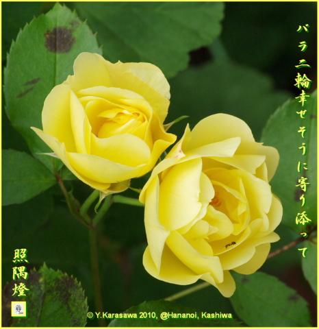 100601バラ黄色2輪