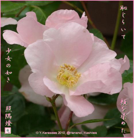 100613バラ桜色二重