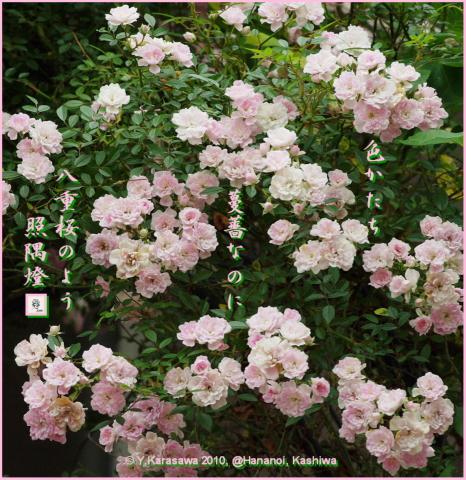 100622ツルバラ桜色八重