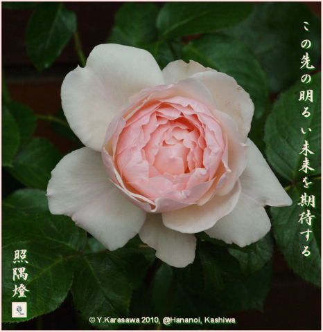 100628バラ桜色獅子咲