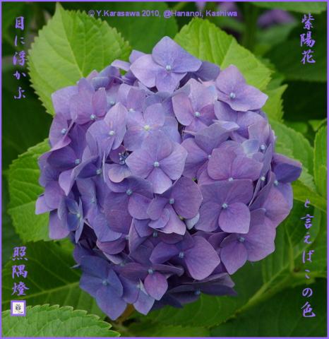 100703アジサイ紫
