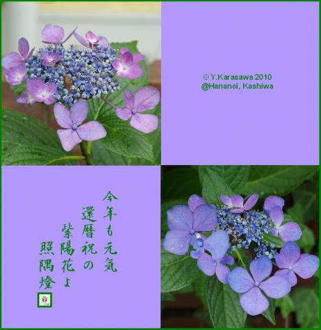 100704ガクアジサイ青紫