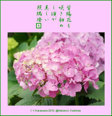 100705紫陽花桃色