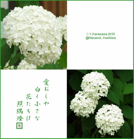 100710アジサイ白小花