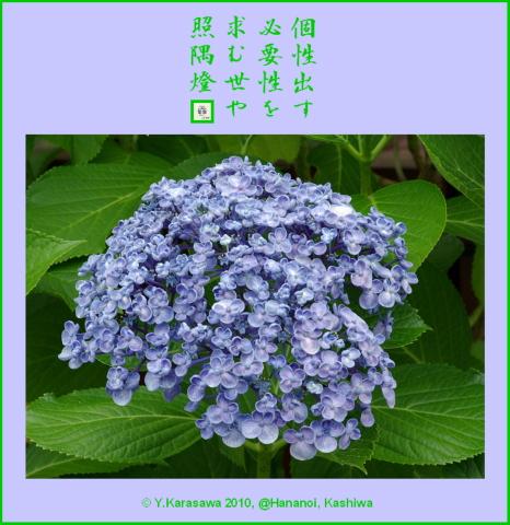 100718アジサイ丸小花青紫