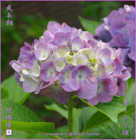 100721アジサイ紫初期