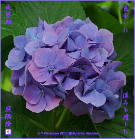 100722アジサイ紫