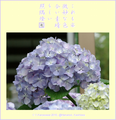 100725アジサイ薄紫
