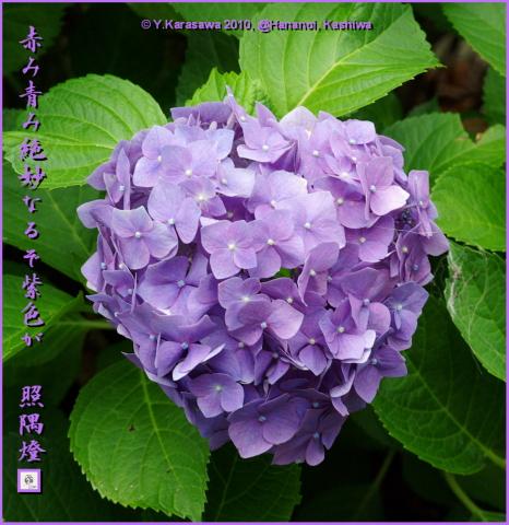 100726アジサイ紫