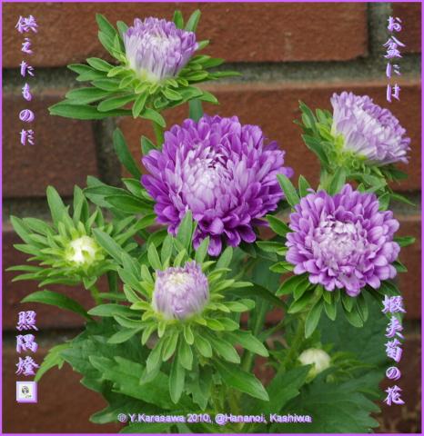 100813蝦夷菊