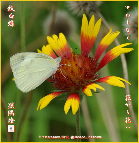 100826天人菊に紋白蝶