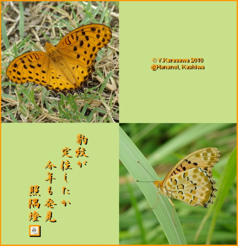 100829褄黒豹紋