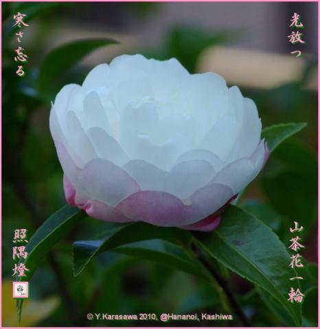 101204山茶花