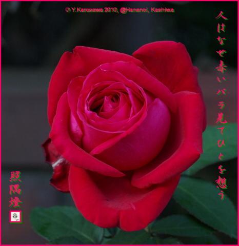 101210赤いバラ