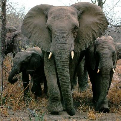 Afwld-African-Elephants-Mom-Nbabies.jpg