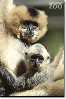 animal_gibbon_Mom-Baby.jpg