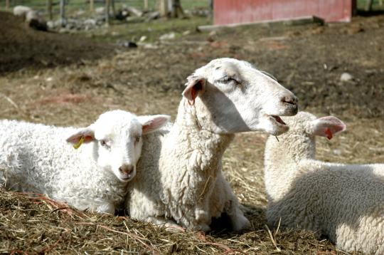 mom20and20lambs.jpg