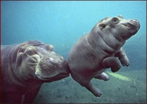 mom_and_baby_hippo.jpg