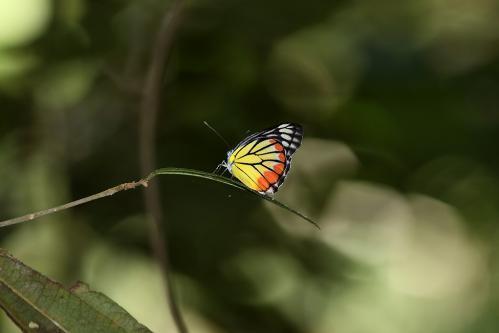 ヒパレテカザリシロチョウ
