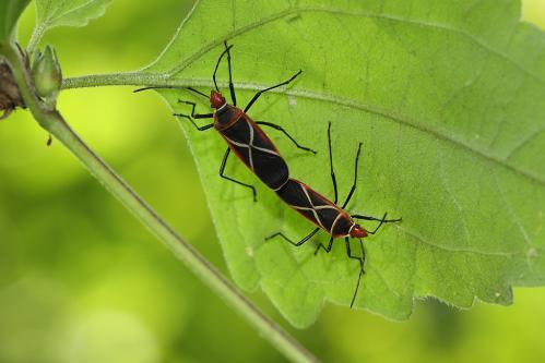 ホシカメムシの一種