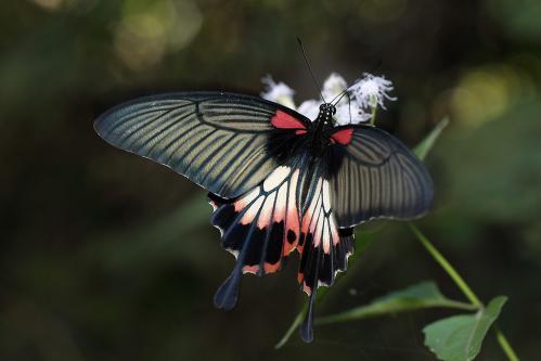 ナガサキアゲハ♀有尾型