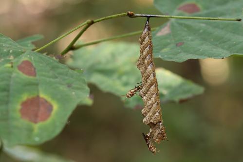 アシナガバチの一種