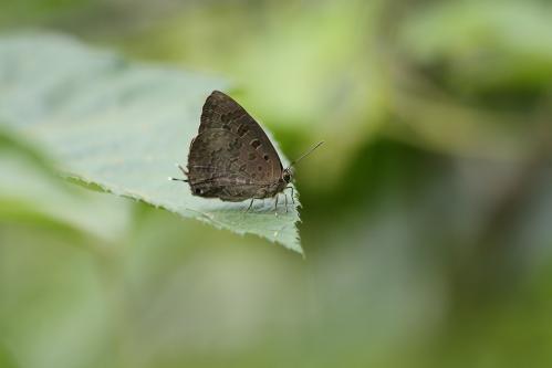 Arhopala eumolphus