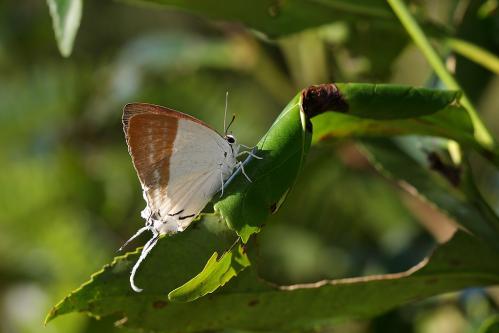 Neocheritra fabronia♀
