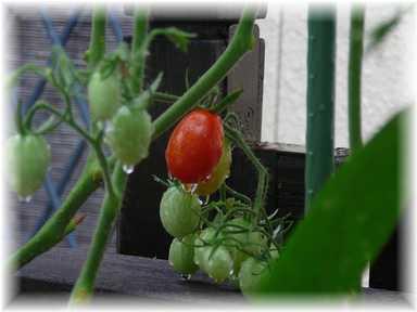 20100627ミニトマト