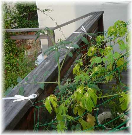 20100813ミニトマト