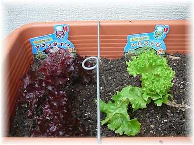 20101020菜園7