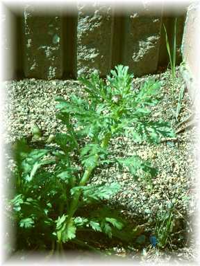 20110417菊菜