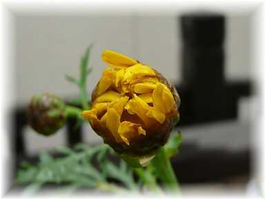 20110504菊菜