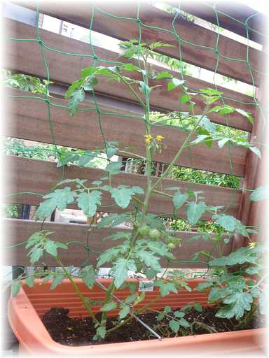 20110528ミニトマト