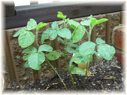 20110528枝豆